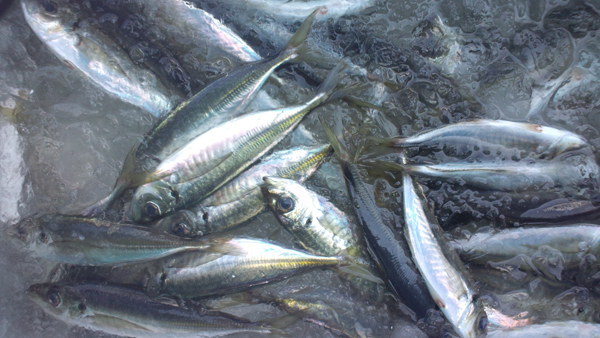 110429_鮮魚5.jpg