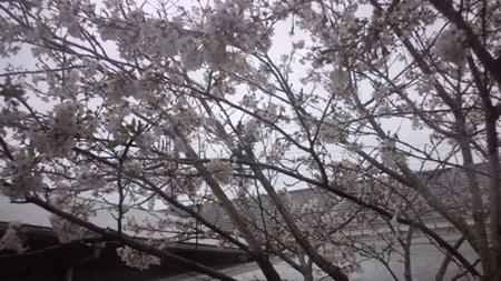 110416_桜.jpg