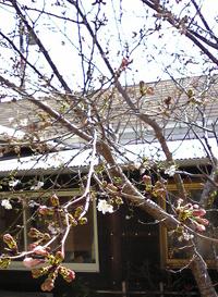 4,3  桜.jpg